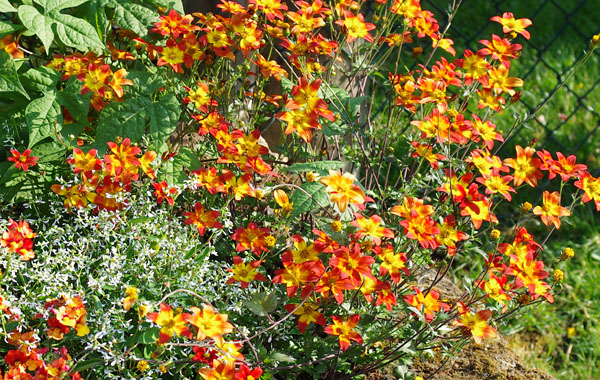 orange Bidens Campfire Fireburst