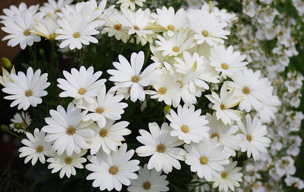 Osteospermum Summersmile Cream