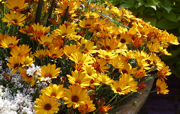 Osteospermum Summersmile Orange
