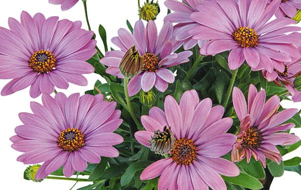 Osteospermum Summersmile Soft Pink