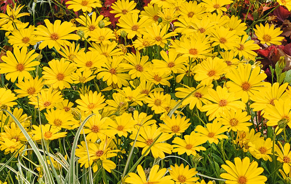 Osteospermum Summersmile Yellow