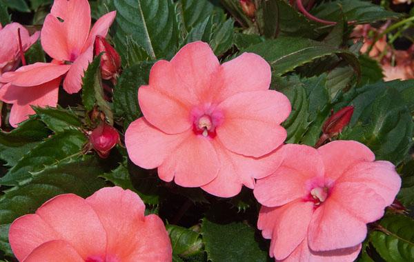 Impatiens Sunpatiens compact Coral Pink