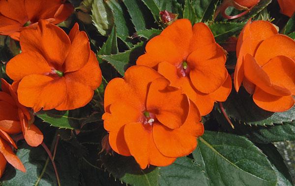 Impatiens Sunpatiens compact Electric Orange