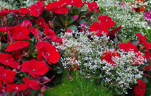 Impatiens Sunpatiens compact Red