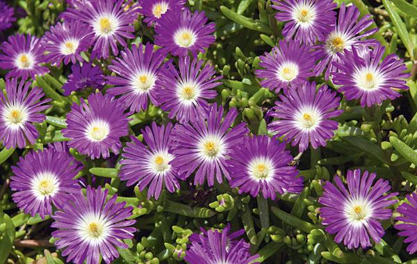 Delosperma WHEELS OF WONDER Purple