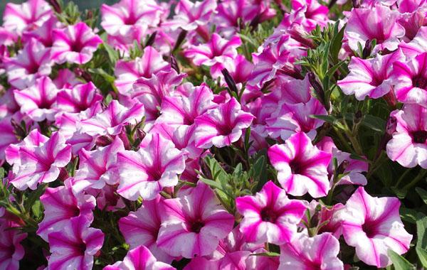 Petunia MINI VISTA Pink Star
