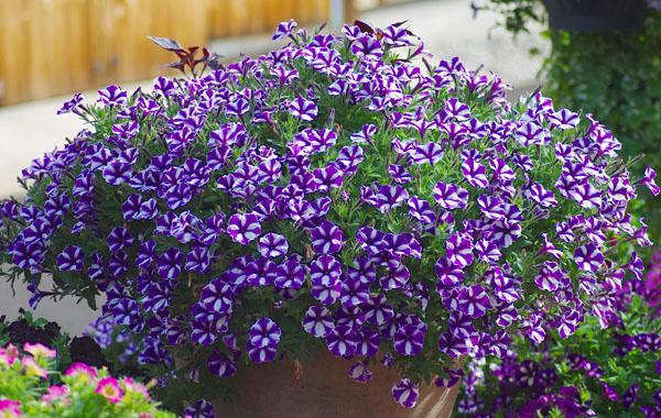 Petunia MINI VISTA Violet Star