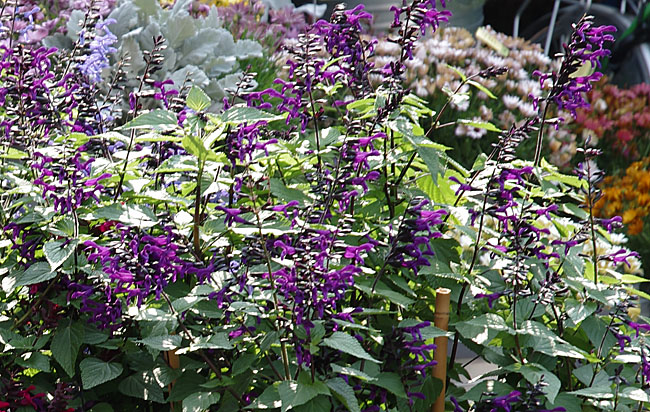 Salvia ROCKIN Deep Purple