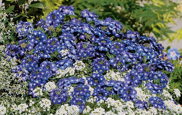 Verbena Vepita Pearl Blue