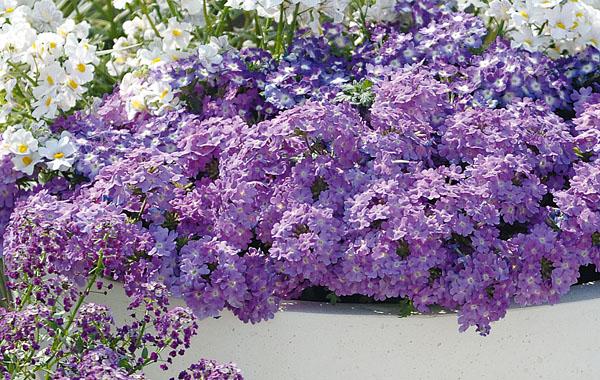 Verbena Vepita Lavender