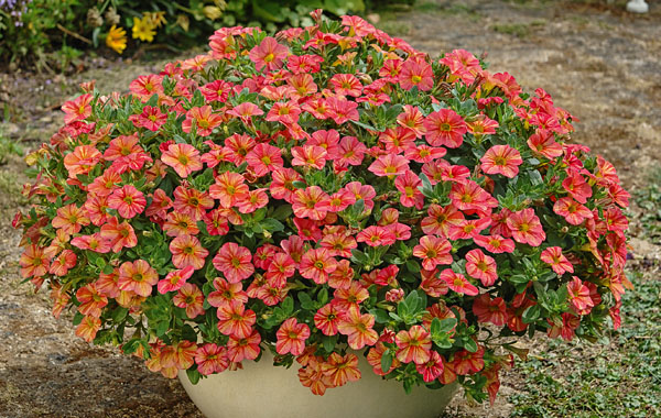 Calibrachoa  Tropical Sunrise