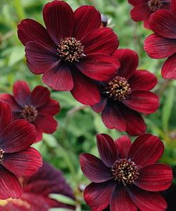 gestaltungsideen mit zauberschnee 39 diamond frost 39 und rot bl henden gartenpflanzen. Black Bedroom Furniture Sets. Home Design Ideas