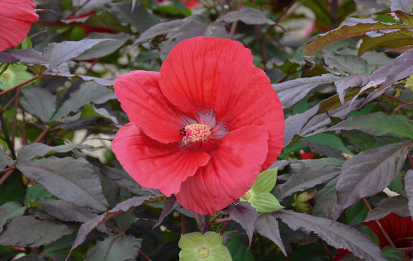 Hibiscus SUMMERIFIC Midnight Marvel